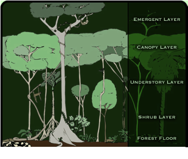 forest canopy diagram 98 honda accord wiring the vegetation - y8 alex kim biome project tropical rain forests