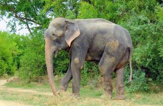 Elefante Raju 01