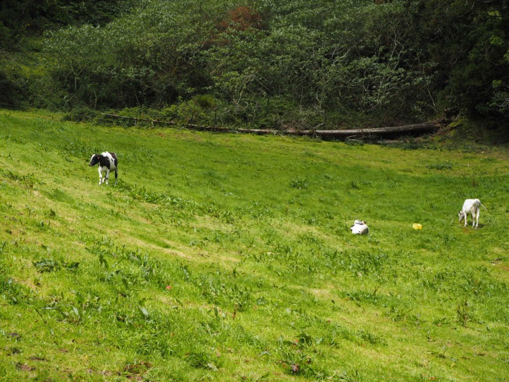 Cows in a field on Sao Miguel