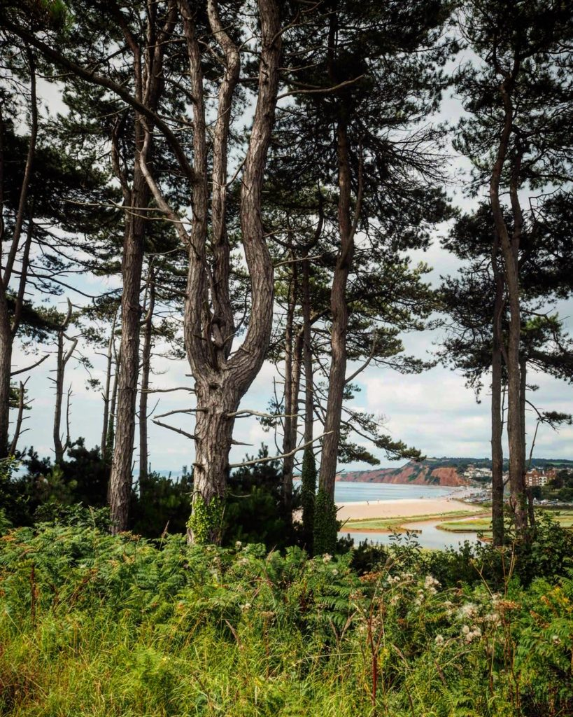 pine trees near the beach in Devon
