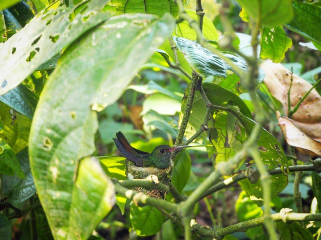a hummingbird sits on her nest in Cahuita, Costa Rica
