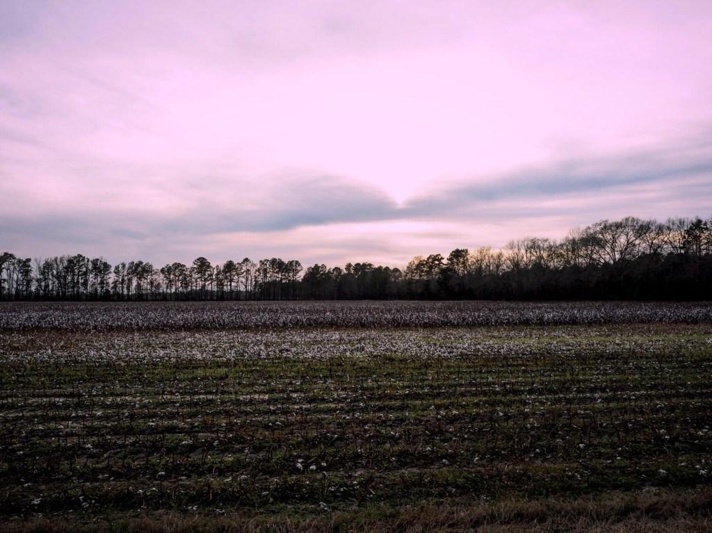 cotton fields in Riverton North Carolina