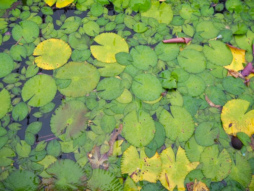 lily pads on the lake at Ganga Talao