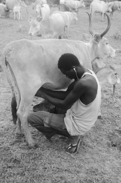 Soulayman milks a cow.