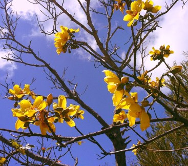 Yellow flowers on a tree against a bright blue sky