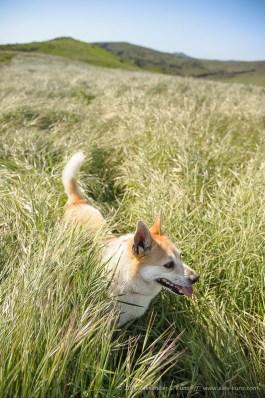 Hund Toni im hohen frischen Gras beim Hollenbeck Canyon, Jamul, San Diego County, California. Maerz 2012.