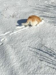 Mäusejagd im Schnee in den Laguna Mountains nach einem Wintersturm im Dezember 2016.