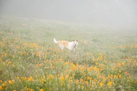 Hund Toni in nebligem Mohnfeld