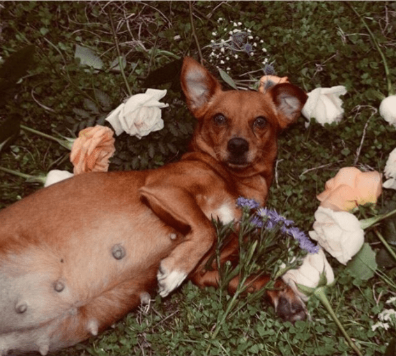 Man pens hilarious note to his pregnant dog and does a pregnancy photo shoot
