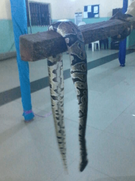Churchgoer displays large python killed in church