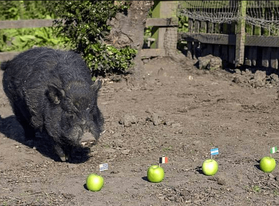 Russia 2018: Psychic pig that predicted Trump