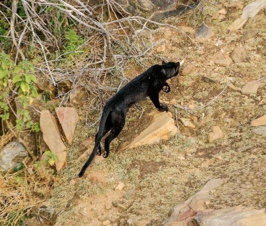 Rare black leopard