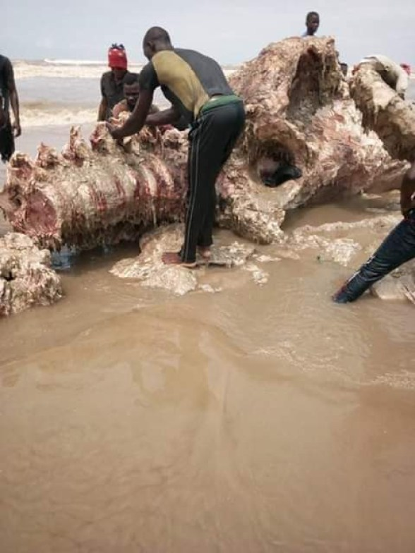 Photos: See the skeletal remains of the whale slaughtered for food in Bayelsa