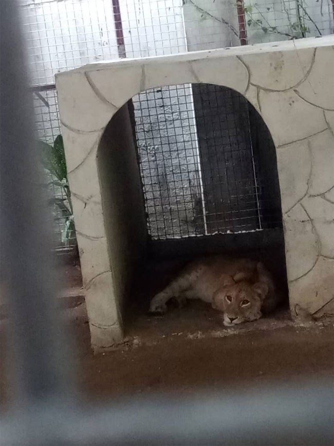Lion discovered at residential building in Lagos (photos)