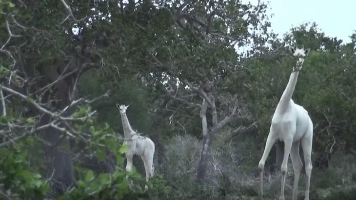 Kenyas only white female giraffe and her calf killed by poachers