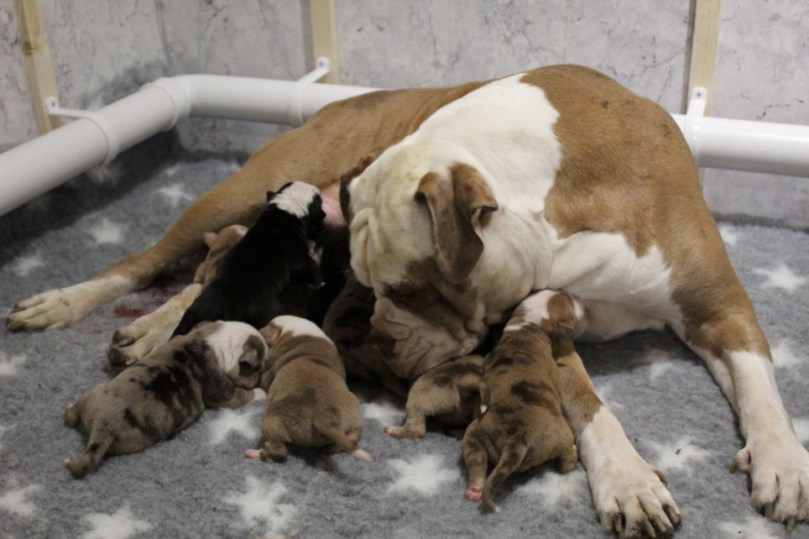 2-year-old dog gives birth to 20 puppies after 24 hours in labour (photos)