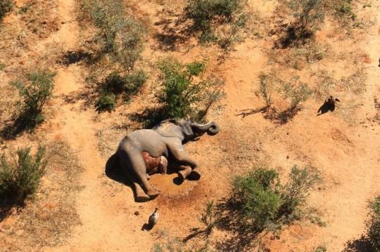 350 Elephants die mysteriously in Botswana