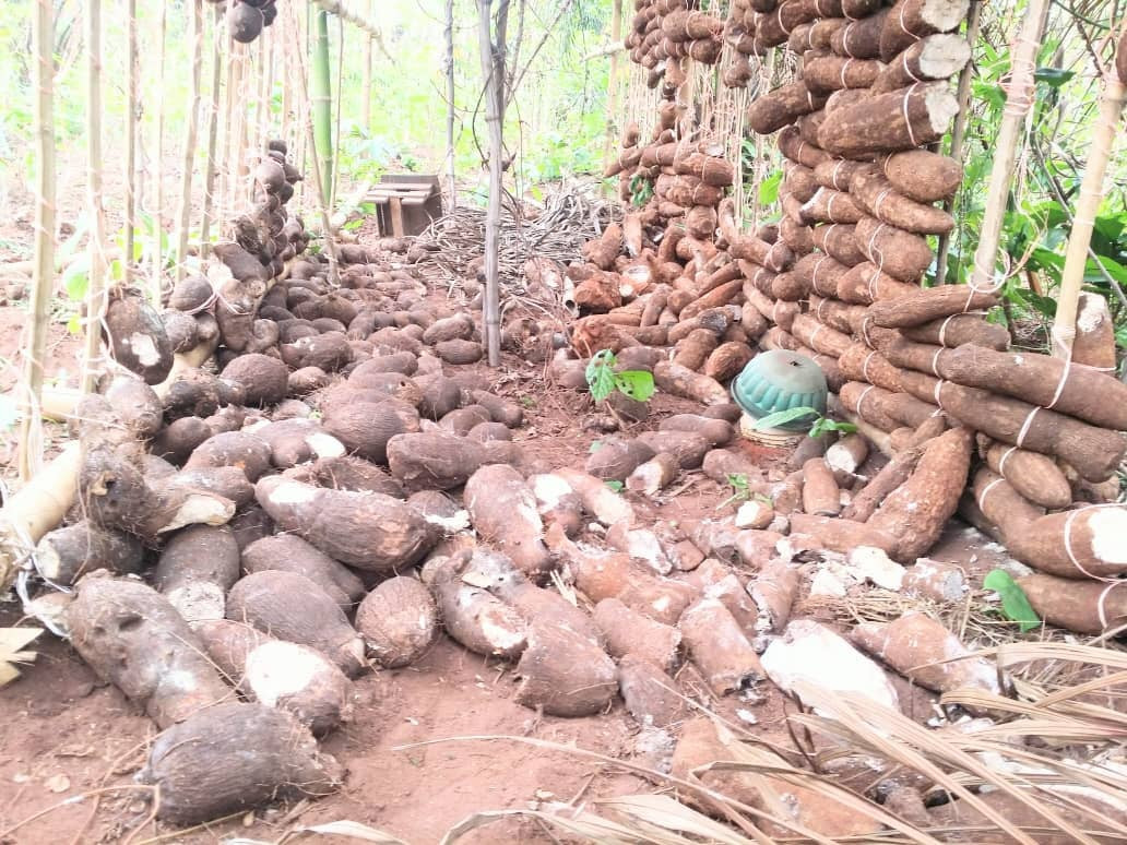 Cows destroyed my one year labour  - 82 year old farmer laments destruction of his crops by suspected Fulani herdsmen in Delta