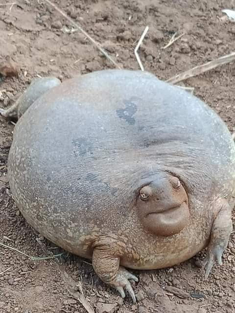 Unusual animal that looks like a cross between a tortoise and a frog leaves Nigerians confused