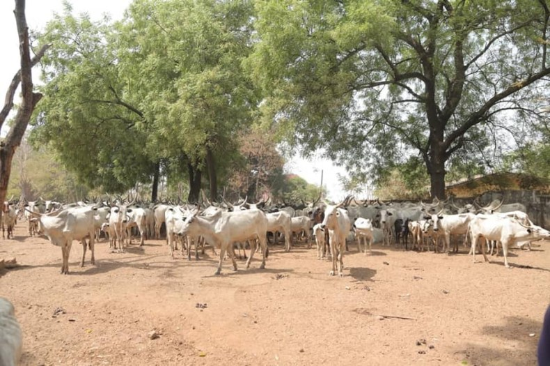 Benue State Govt impounds 376 cows, arrest six herdsmen for flouting anti-open grazing law (photos)