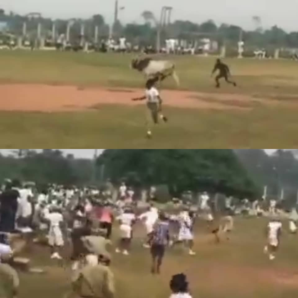 Parade disrupted as marauding cow invades NYSC orientation camp in Ogun (video)