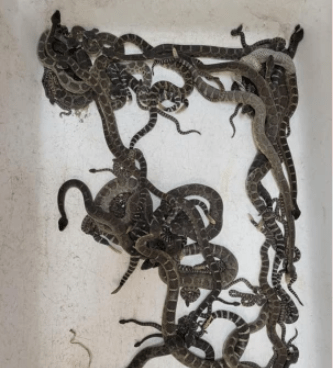 Nearly 90?rattlesnakes unearthed from woman?s home