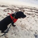 Black Labrador Retriever with red bandana tied around his throat on a beach.