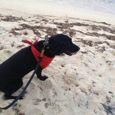 Black Labrador Retriever with red bandana tied around his throat on a beach.