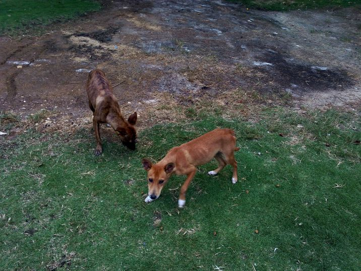 stray dogs animal volunteer rights travel jamaica adopt don't shop
