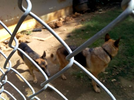 german sheperds animal shelter volunteer travel