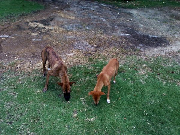 stray dogs at good hope beach in Jamaica