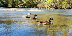 Ducks at the Pond, Georgia