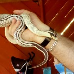 snake high white california king snake