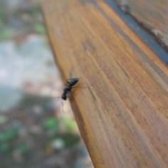 50 Marcoshot Ant