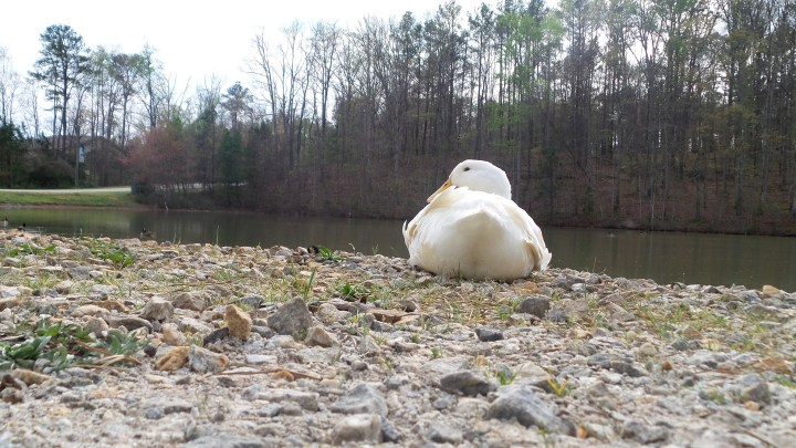 White Duck on Georgia Hiking Trail