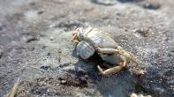 14 Blackrock Beach Crab Stinger