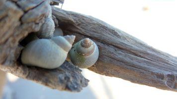 27 Blackrock Beach White Driftwood Sea Shells