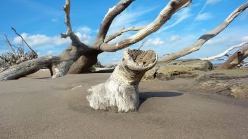 7 Blackrock Beach White Driftwood Trees