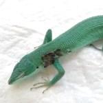 トカゲ(カナヘビ)の病気、ケガと治療その2