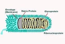 Tollwutvirus (Quelle: CDC)