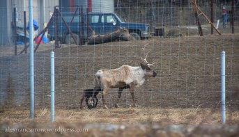 Passing by a reindeer farm near Fairbanks. Do you know the difference between reindeer and caribou? Although they belong to the same species, reindeer are simply a domesticated version of caribou.