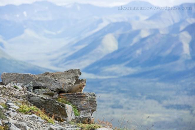 arctic-ground-squirrel-5