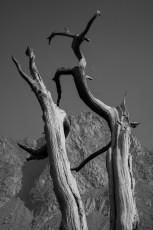 Old tree on the way to Columbine Lake