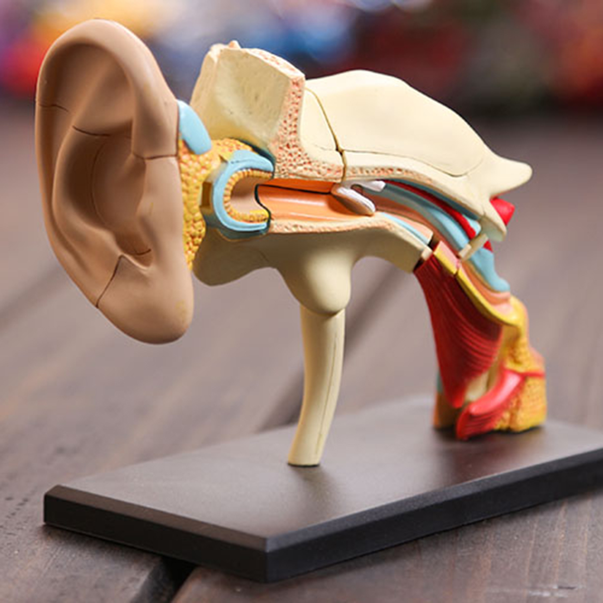 4d Vision Human Ear Anatomy Model Anatomical Medical Learn