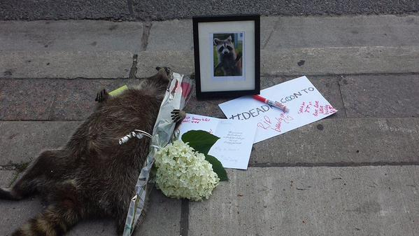 dead raccoon in Toronto