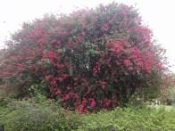 Pinky bush on the way. Обнаружил розовый куст.