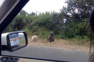 Astrology Restored baboon