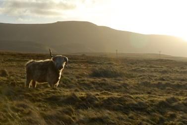 Isle of Skye: Highland Cattle