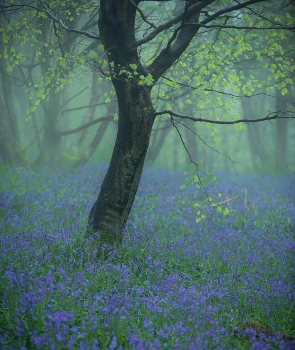 Lake District Calendar Bluebells