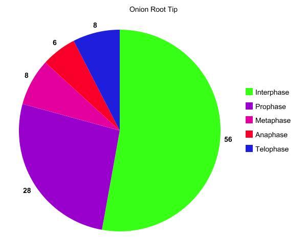 onion root tip diagram 2008 gmc canyon radio wiring mitosis aleysa franz graph